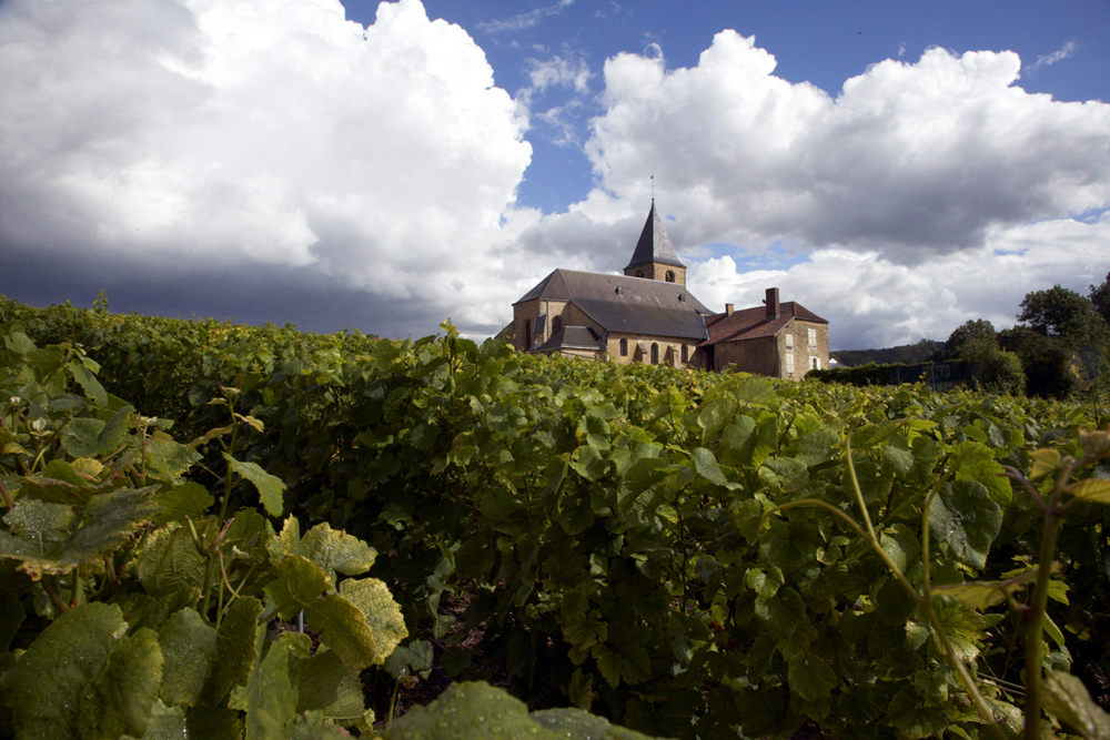 Armand de Brignac – Grape vines at Cattier